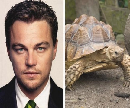 Leonardo Dicaprio Owns Sulcata Tortoise Which He Bought In For That Is Expected To Live Another To Years And Can Grow To Weigh About Pounds